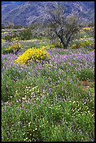 Carpet of Arizona Lupine, Desert Dandelion, and Brittlebush near the Southern Entrance. Joshua Tree National Park, California, USA.