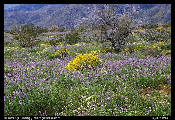 Carpet of Arizona Lupine, Desert Dandelion, and Brittlebush near the Southern Entrance. Joshua Tree National Park (color)