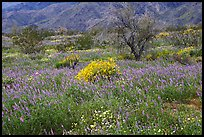 Carpet of Arizona Lupine, Desert Dandelion, and Brittlebush near the Southern Entrance. Joshua Tree National Park, California, USA. (color)