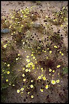 Chia and Desert Dandelion flowers. Joshua Tree National Park, California, USA.