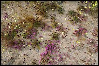Chia, Desert Dandelion, and Purple Mat flowers. Joshua Tree National Park, California, USA. (color)