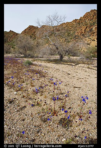 Blue Canterbury Bells and cottonwoods in a sandy wash. Joshua Tree National Park, California, USA.