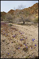 Blue Canterbury Bells and cottonwoods in a sandy wash. Joshua Tree National Park, California, USA. (color)