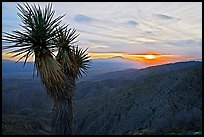 Yucca at sunset, Keys View. Joshua Tree National Park, California, USA.