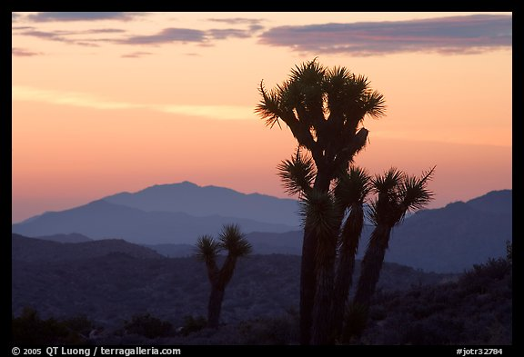 Yucca at sunrise near Keys View. Joshua Tree National Park (color)