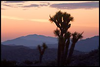 Yucca at sunrise near Keys View. Joshua Tree National Park, California, USA.