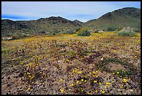 Desert Daisy, Chia flowers, and Hexie Mountains. Joshua Tree National Park, California, USA.