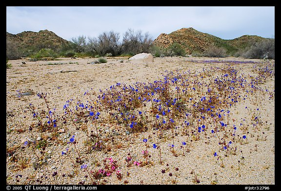 Cluster of blue Canterbury Bells in a sandy wash. Joshua Tree National Park (color)