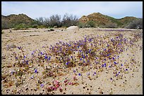 Cluster of blue Canterbury Bells in a sandy wash. Joshua Tree National Park, California, USA. (color)
