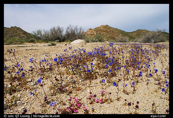 Blue Canterbury Bells growing out of a sandy wash. Joshua Tree National Park (color)
