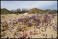 Blue Canterbury Bells growing out of a sandy wash. Joshua Tree National Park, California, USA.