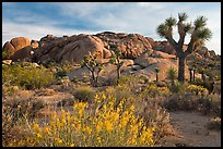 Flowering desert shrub, joshua trees, and rocks. Joshua Tree National Park, California, USA. (color)