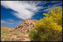 Palo Verde in bloom, rock pile, and cloud. Joshua Tree National Park, California, USA.
