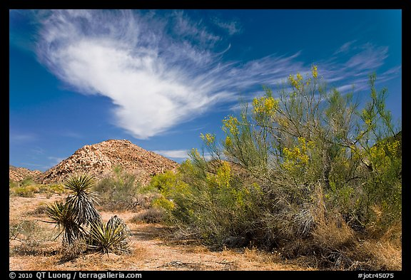 Sandy wash and palo verde in spring. Joshua Tree National Park (color)
