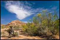 Sandy wash and palo verde in spring. Joshua Tree National Park, California, USA. (color)