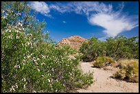 Sandy wash with desert tree blooming. Joshua Tree National Park, California, USA. (color)