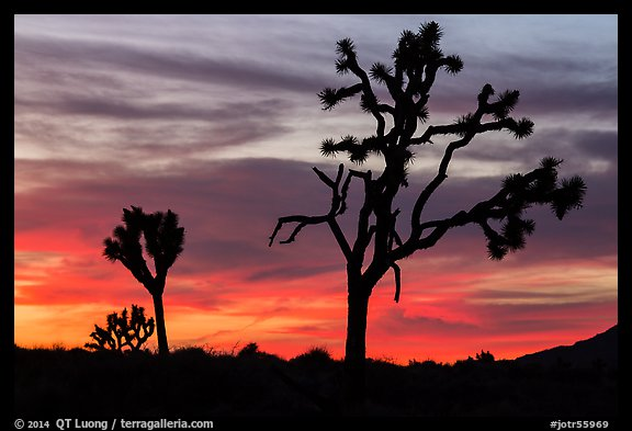 Joshua Trees silhouettes and bright sunset clouds. Joshua Tree National Park (color)