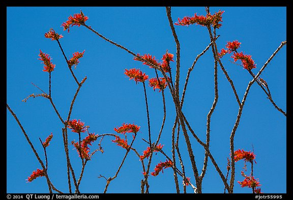 Stems and bright crimson flowers of ocotillo. Joshua Tree National Park (color)