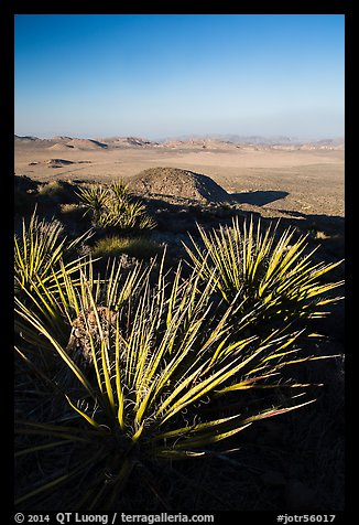 Yuccas and view, Ryan Mountain. Joshua Tree National Park (color)