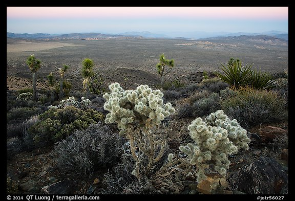 Cholla Cactus, yucca on Ryan Mountain, dusk. Joshua Tree National Park (color)