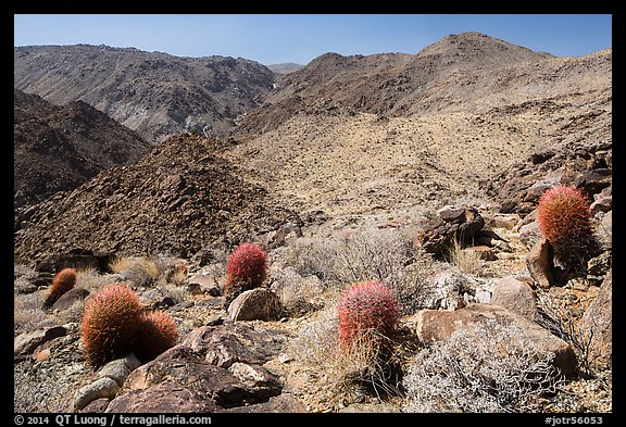 Colorful barrel cacti and Queen Mountains. Joshua Tree National Park (color)