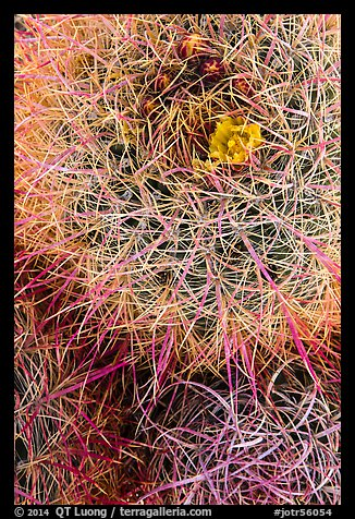 Close-up of barrel cactus top. Joshua Tree National Park (color)