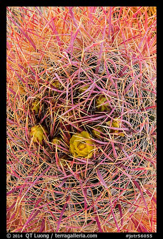 Close-up of barrel cactus in bloom. Joshua Tree National Park (color)
