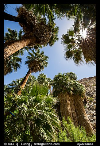 Looking up California palms, Forty-nine palms Oasis. Joshua Tree National Park (color)