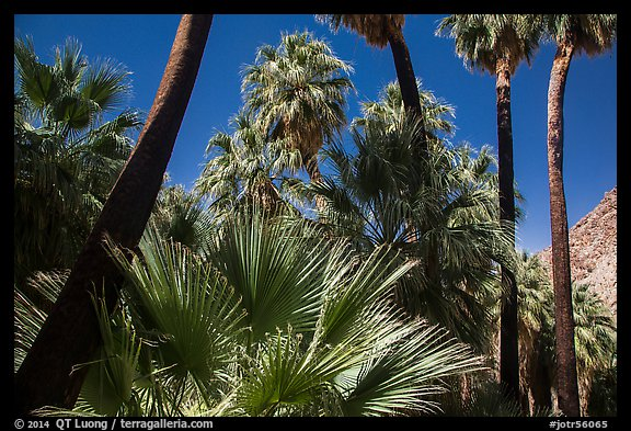 California palm trees, 49 Palms Oasis. Joshua Tree National Park (color)