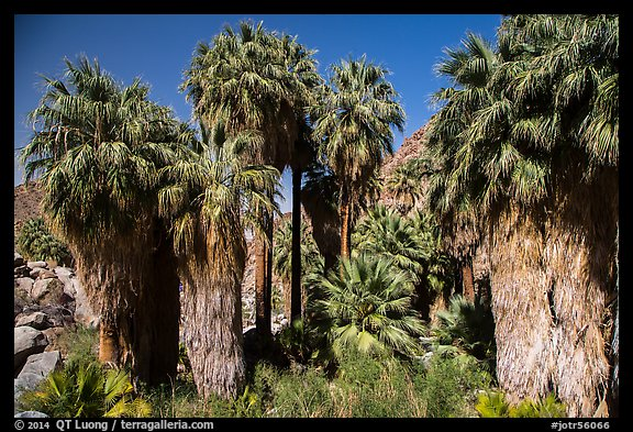California fan palm trees with frond skirts, 49 Palms Oasis. Joshua Tree National Park (color)