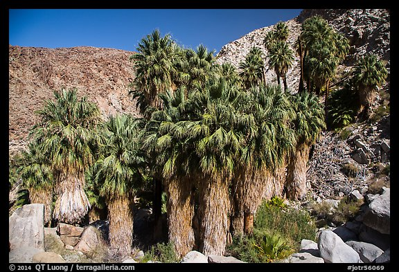 California fan palms, Forty-nine Palms Oasis. Joshua Tree National Park (color)