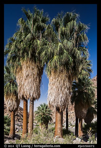 Native California fan palm trees. Joshua Tree National Park (color)