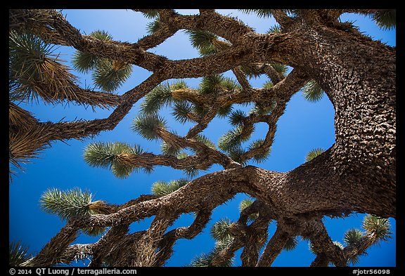 Looking up Joshua tree (Yucca brevifolia). Joshua Tree National Park (color)