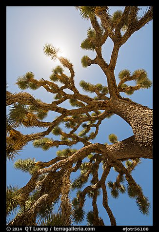 Palm tree yucca (Yucca brevifolia) and sun. Joshua Tree National Park (color)