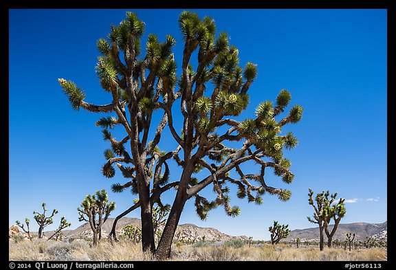 Multi-branched Joshua tree with seeds. Joshua Tree National Park (color)