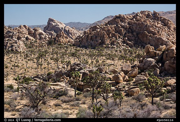 Joshua tree forest and piles of boulders. Joshua Tree National Park (color)