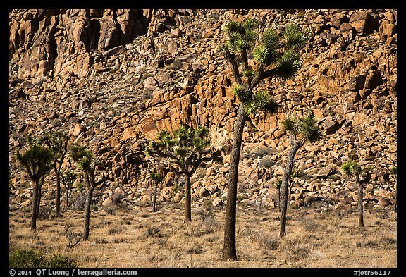 Palm tree yuccas and fractured cliff. Joshua Tree National Park (color)