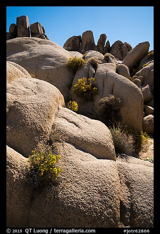 Flowers growing out of boulders near Squaw Tank. Joshua Tree National Park (color)