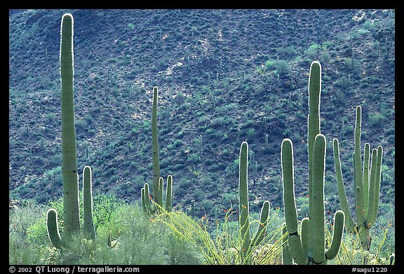 Saguaro cacti forest on hillside, West Unit. Saguaro National Park (color)