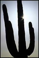 Backlit Saguaro cactus. Saguaro National Park, Arizona, USA.