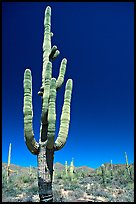 Giant Saguaro cactus (scientific name: Carnegiea gigantea), mid-day. Saguaro National Park ( color)