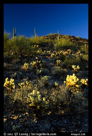 Cholla cactus on hillside. Saguaro National Park (color)