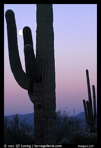 Saguaro cactus and moon, dawn. Saguaro National Park, Arizona, USA.