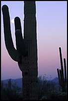 Saguaro cactus and moon, dawn. Saguaro National Park, Arizona, USA. (color)