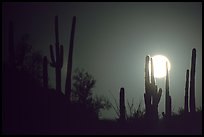 Moonrise behind saguaro cactus. Saguaro National Park, Arizona, USA.