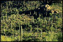 saguaro cacti forest on hillside, West Unit. Saguaro National Park, Arizona, USA. (color)