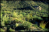 Saguaro cacti forest and occatillo on hillside, West Unit. Saguaro National Park, Arizona, USA.