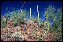 Palo verde and saguaro cactus on hillside. Saguaro National Park, Arizona, USA.