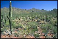 Saguaro cactus and Tucson Mountains. Saguaro National Park, Arizona, USA.