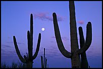 Saguaro cactus and moon at dawn. Saguaro National Park, Arizona, USA. (color)